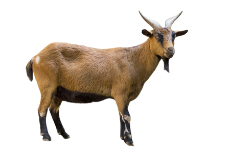 Image of a brown goat on white background. Farm Animals. Banco de Imagens - 71984816
