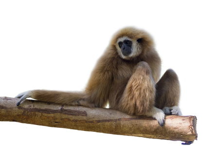 Image of a gibbon sits on timber on white background. wild animals. Stock Photo