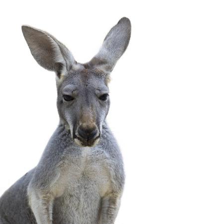 Image of kangaroo isolated on white background. Wild Animal.