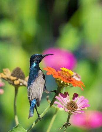 tinge: Image of a bird (purple sunbird) perched on flowers. Wild Animals.