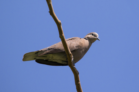 perched: The image of a dove perched on a tree branch. Wild Animals.