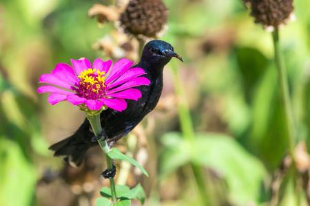 animales silvestres: Imagen de un ave (Sunbird púrpura). Animales salvajes.