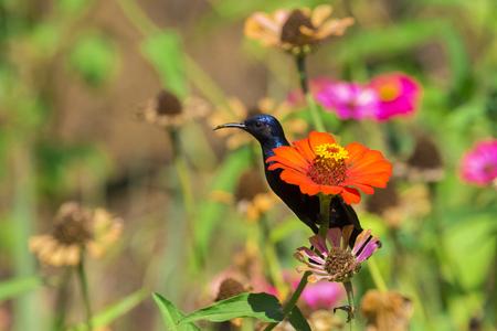 tinge: Image of a bird (purple sunbird). Wild Animals.