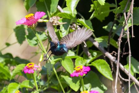 Image of a bird (purple sunbird). Wild Animals.