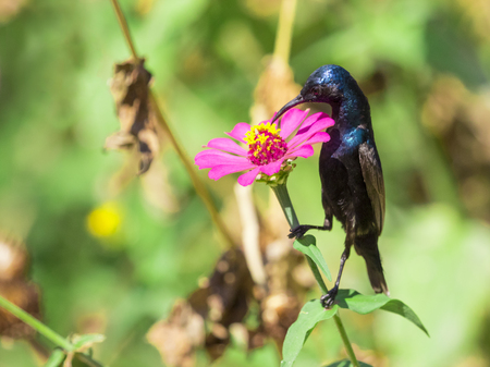birds in tree: Image of a bird (purple sunbird). Wild Animals.