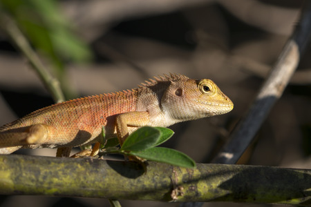 Image of chameleon on nature background. Reptile Stock Photo