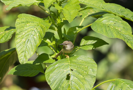 Image of bird on a green leaf. (Orthotomus sutorius)