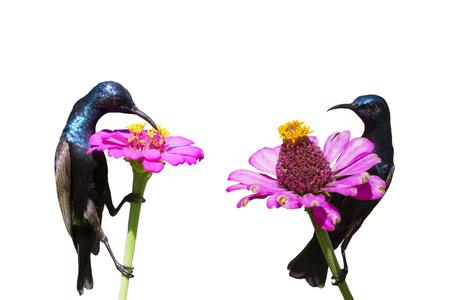 Image of a bird (purple sunbird) on white background. wild animals.