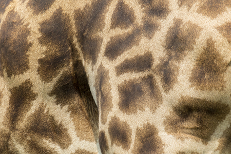 camelopardalis: Genuine leather skin of giraffe with light and dark brown spots.