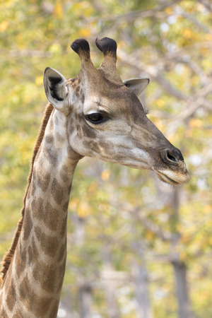 reticulated giraffe: Image of a giraffe head on nature background. Wild Animals. Stock Photo