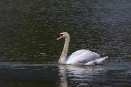 animales silvestres: Imagen de un cisne en el agua. Animales salvajes.