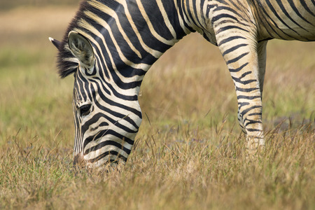 subspecies: Image of an zebra eating grass on nature background. Wild Animals.