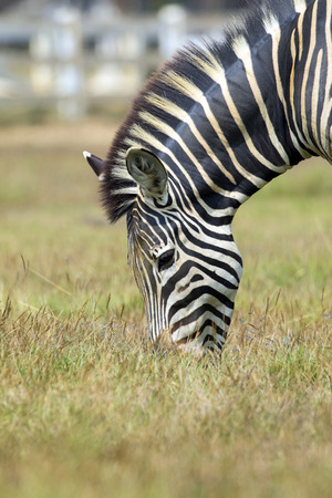 burchell: Image of an zebra eating grass on nature background. Wild Animals.