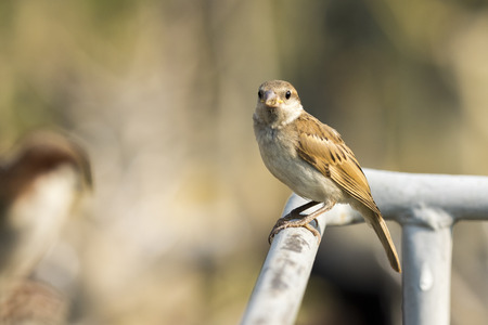 the sparrow: Image of sparrow on nature background. Bird