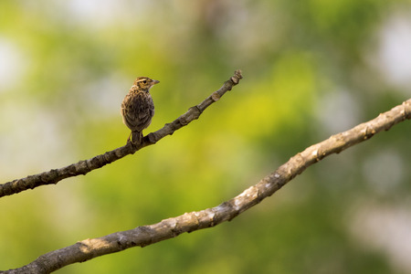 Image of bird on nature background.Wild Animals. (Lanceolated Warbler) (Locustella lanceolata)