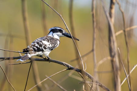 rudy: Image of Pied Kingfisher (Ceryle rudis) on the branch on nature background. Wild Animals.