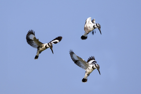 Image of Pied Kingfisher (Ceryle rudis) male hovering in flight on sky. Wild Animals. Stock Photo