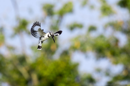 Image of Pied Kingfisher (Ceryle rudis) male hovering in flight on nature background. Wild Animals.