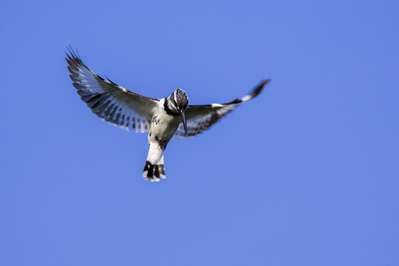 pied: Image of Pied Kingfisher (Ceryle rudis) male hovering in flight on sky. Wild Animals. Stock Photo