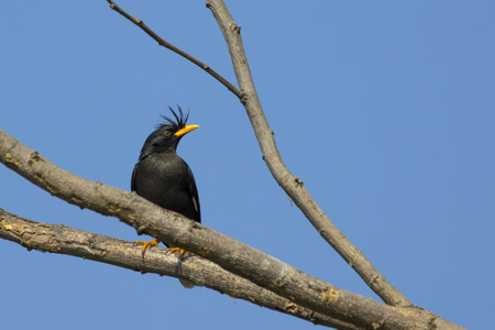 Image of bird (White vented myna, Acridotheres grandis) on the branch on sky background. Wild Animals. Stock Photo
