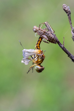 wizen: Image of Dragonfly larva dried on nature background. Wild Animals.