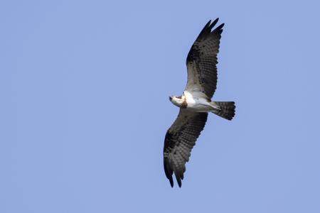 Image of falcon in flight on sky. Wild Animals.