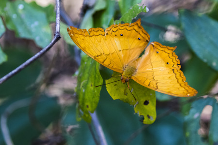 Image of butterfly (Vindula erota erota) on nature background. Insect Animals. Stock Photo