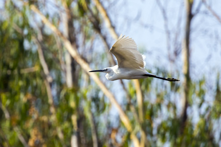Image of egret flying on nature background. Wild Animals. Heron. Stock Photo