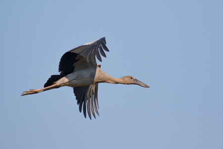 Image of asian openbill stork flying in the sky. Wild Animals. Stock Photo