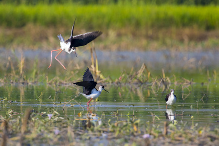 Image of bird black-winged stilt  (Himantopus himantopus) on nature background. Wild Animals. Stock Photo