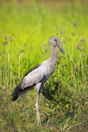 asian natural: Image of Asian openbill stork on natural background. Wild Animals.