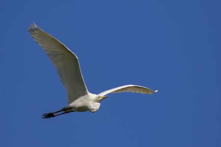 Image of egret flying in the sky. Heron. Wild Animals. Reklamní fotografie - 72672714