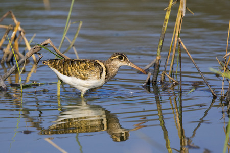 Image of birds are looking for food (Greater Painted-snipe; Rostratula benghalensis) (male). Wild Animals. Stock Photo