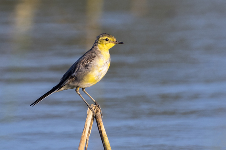 motacilla: Image of Bird Citrine Wagtail (Motacilla citreola)  Wild Animals.
