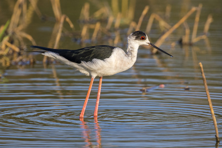 the long lake: Image of bird black-winged stilt are looking for food (Himantopus himantopus) Wild Animals.