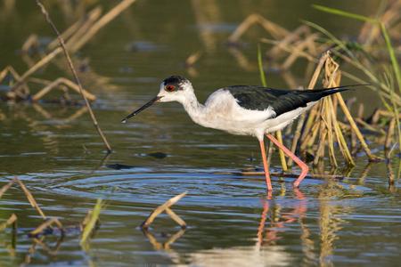 Image of bird black-winged stilt are looking for food (Himantopus himantopus) Wild Animals.