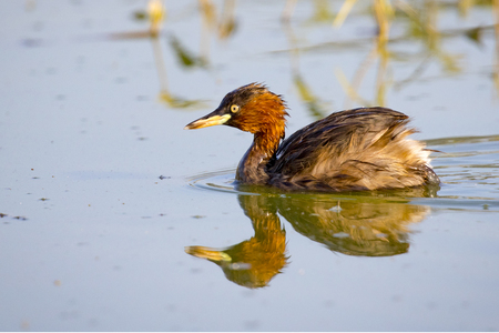 dabbling: Image of little teal (Dabbling duck)  Wild Animals.