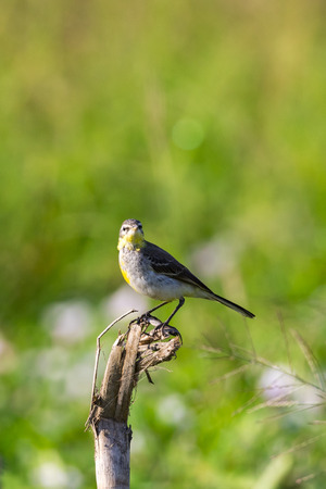 motacilla: Image of Bird Eastern Yellow Wagtail (Motacilla tschutschensis)  Wild Animals. Foto de archivo
