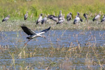 anastomus: Image of flocks asian openbill stork. Wild Animals. Birds