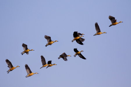 Image flock of male wild duck on the sky. Wild Animals.
