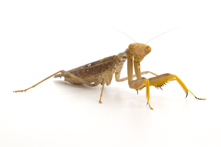 Image of brown mantis on white background. Insect.
