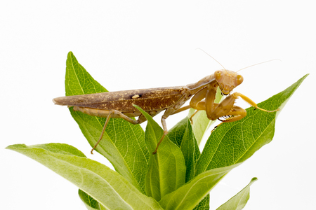 Image of brown mantis on nature background. Insect.