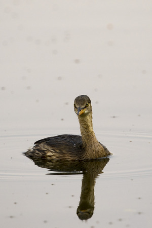 common reed: Image of little teal (Dabbling duck) Wild Animals. Stock Photo