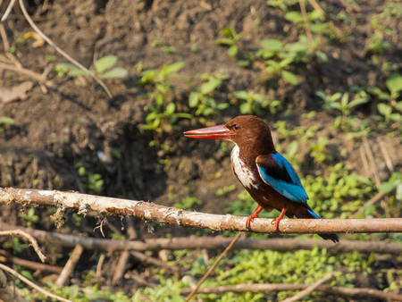 Image of bird on the branch on natural background. White-throated Kingfisher ( Halcyon smyrnensis ) Stock Photo