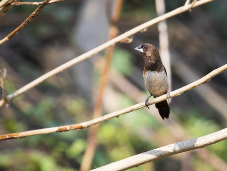 ella: Image of bird on the branch on natural background. White-rumped Munia (Lonchura striata)