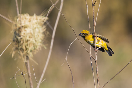 Image of bird nest and Asian golden weaver (Ploceus hypoxanthus) on nature background.