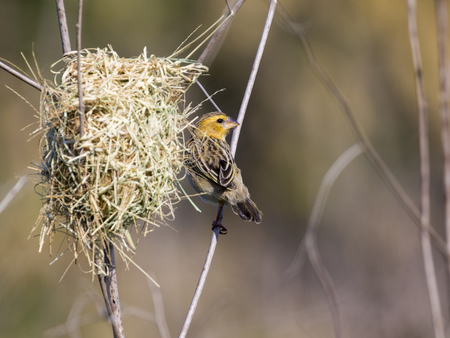 WEAVER: Image of bird nest and Asian golden weaver (Ploceus hypoxanthus) on nature background.