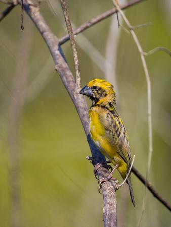 Image of Asian golden weaver bird (Ploceus hypoxanthus) on nature background.