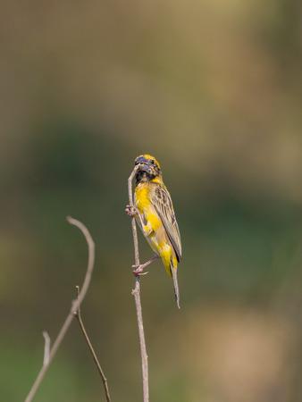 WEAVER: Image of Asian golden weaver bird (Ploceus hypoxanthus) on nature background.
