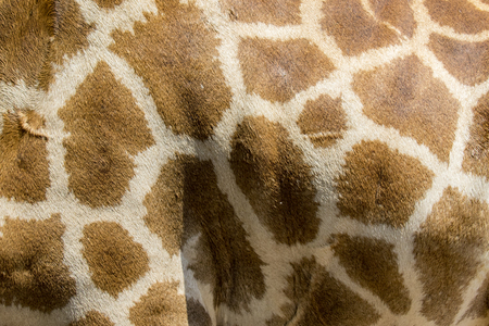 brown skin: Genuine leather skin of giraffe with light and dark brown spots.